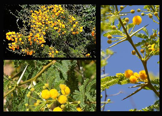 Acacia Tree Flowers 01