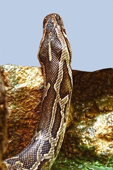 Snake-96