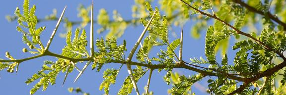 Acacia Tree Branch