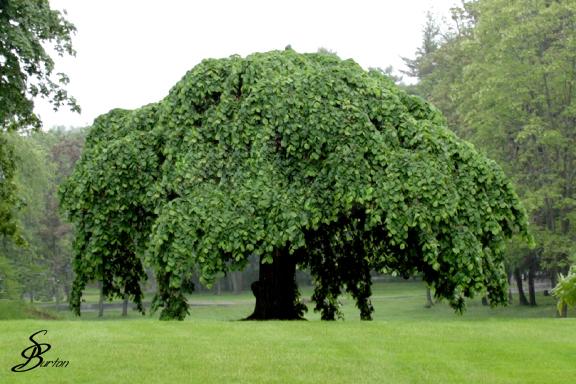 Genealogy tree