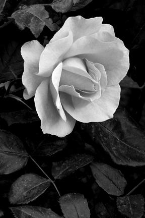 Artistic Rose-BW