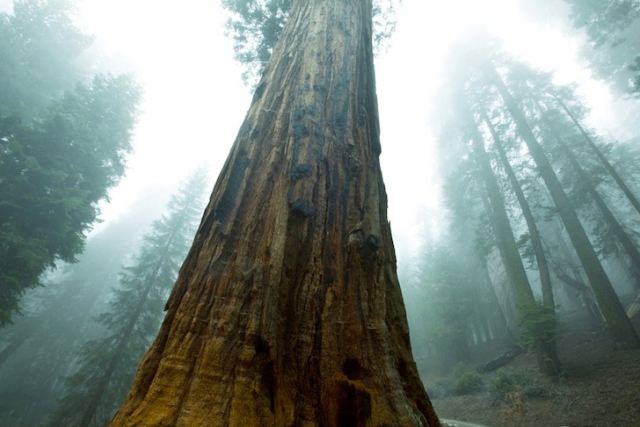 sequoia-tree