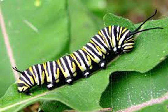 Caterpillar-007